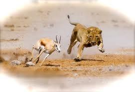lion gazelle